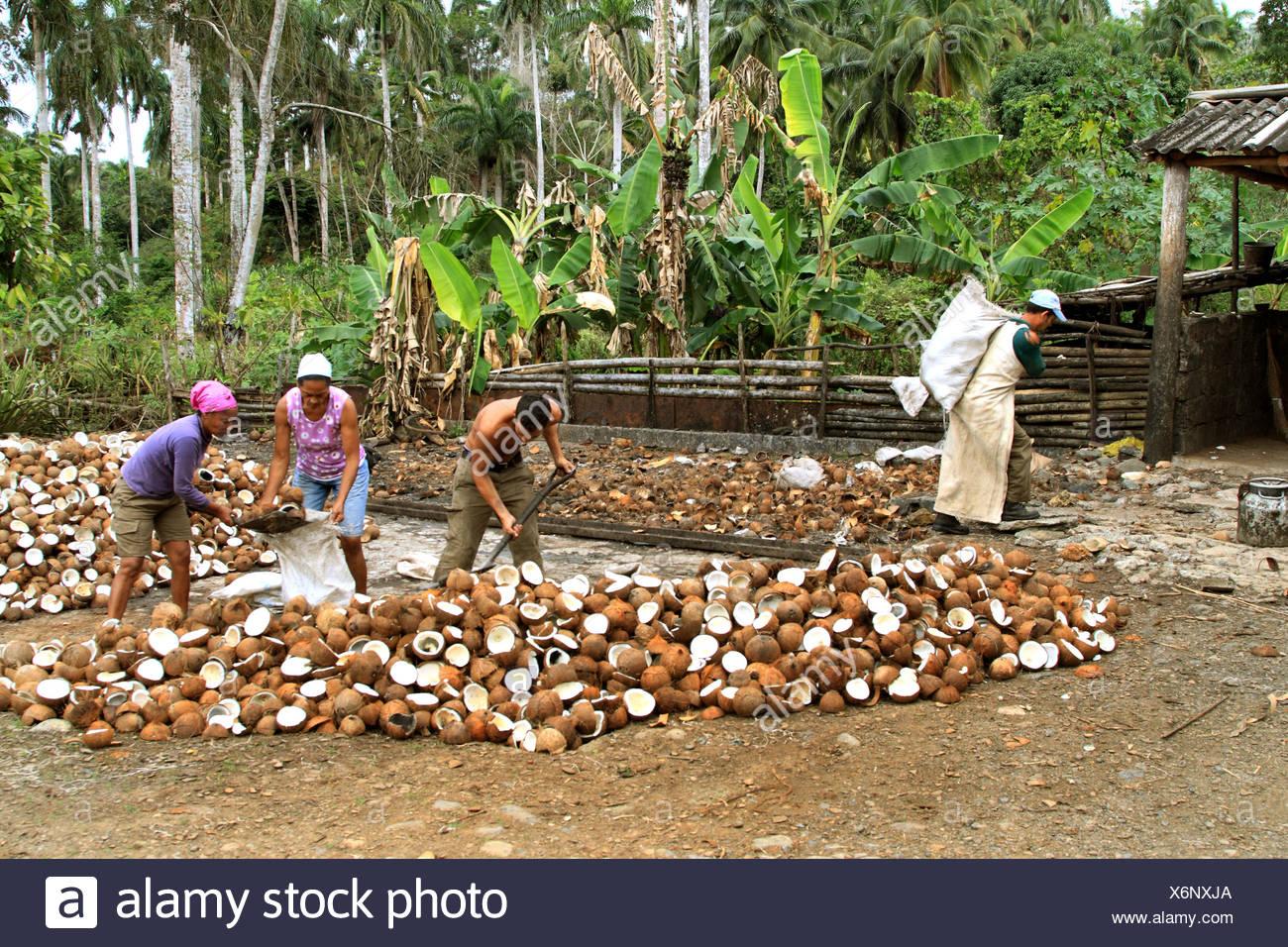 (Cocco Cocos nucifera), fabbricazione di cocco su Cuba, Cuba Immagini Stock