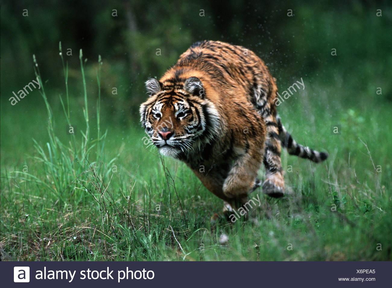 Esecuzione di una tigre siberiana Panthera tigris Immagini Stock