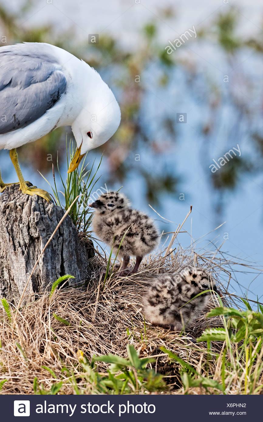 Stati Uniti d'America, in Alaska. Adulto Mew Gull (Larus canus) sovrintende alle due giorni pulcini di un vicino a un nido su una piccola isola nel Potter Marsh all'inizio Immagini Stock