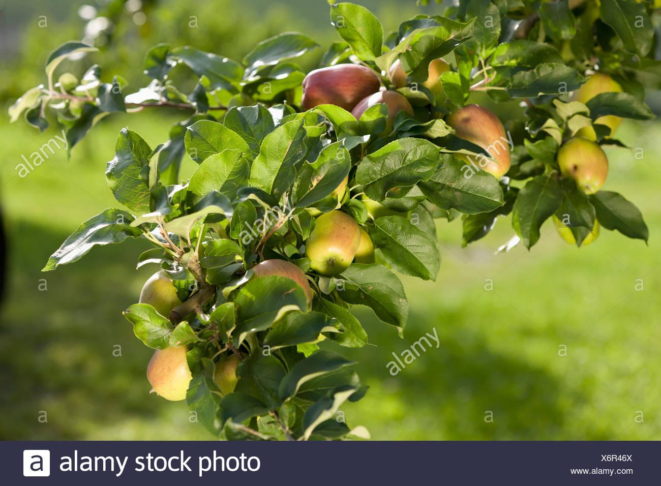 L'Austria, la Stiria, la vista di melo Immagini Stock
