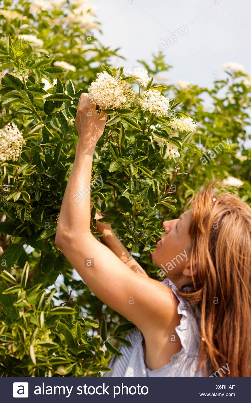 La Svezia, Oland, Gronhogen, metà donna adulta il prelievo di fiore Foto Stock