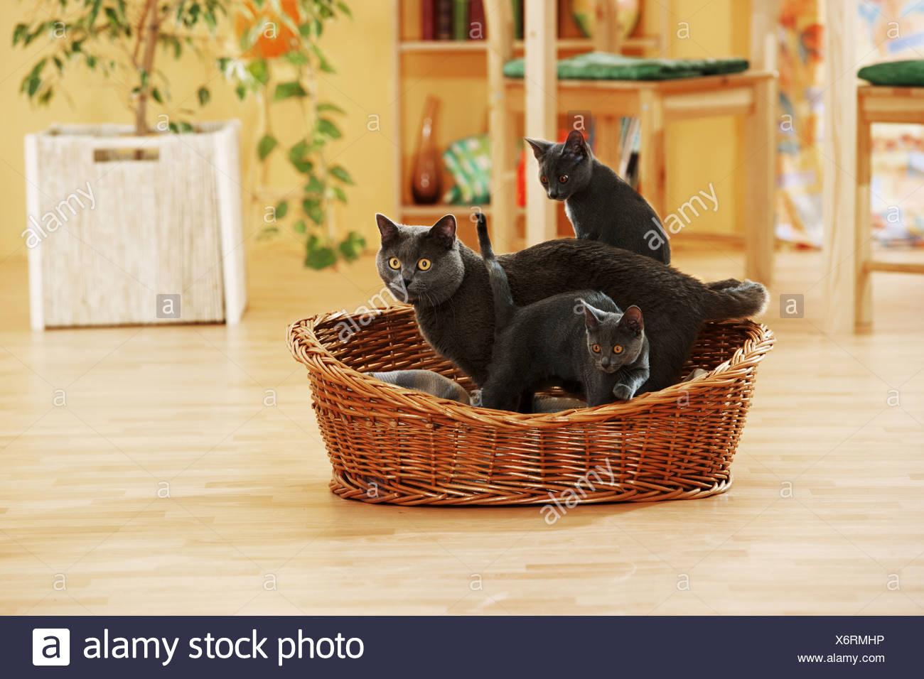 Gatto Certosino Con I Cuccioli In Basket Foto Immagine Stock