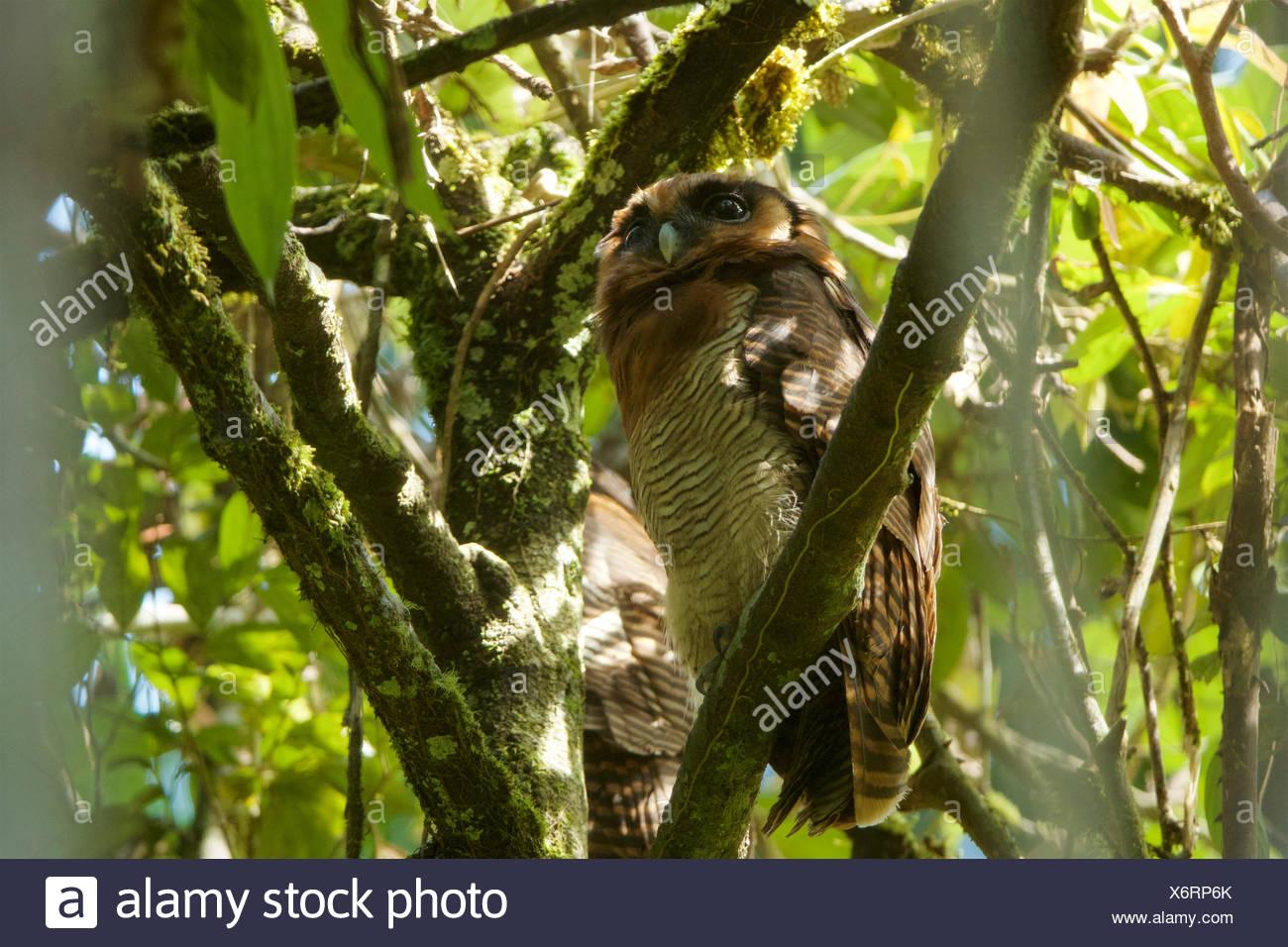 Un legno marrone owl, Strix leptogrammica, posatoi su un ramo di albero in Gunung Palung National Park. Immagini Stock