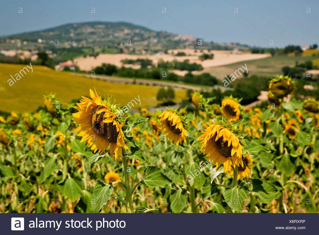 Paesaggio umbro con girasoli, Umbria, Italia Foto & Immagine Stock ...