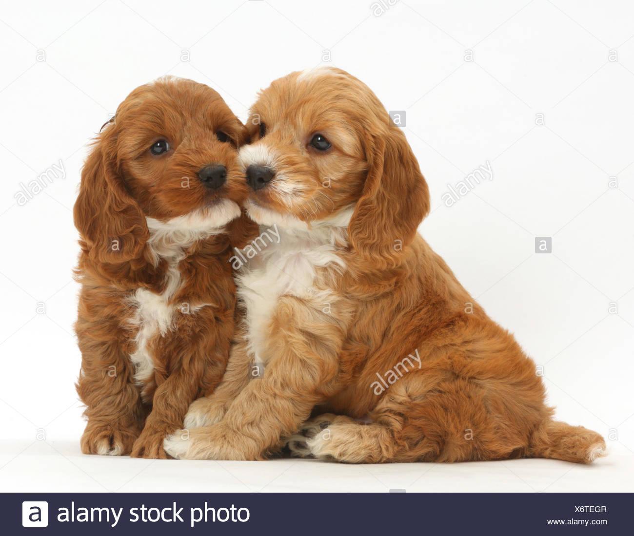 Due Cuccioli Cockapoo Cocker Spaniel Barboncino Trasversale Foto