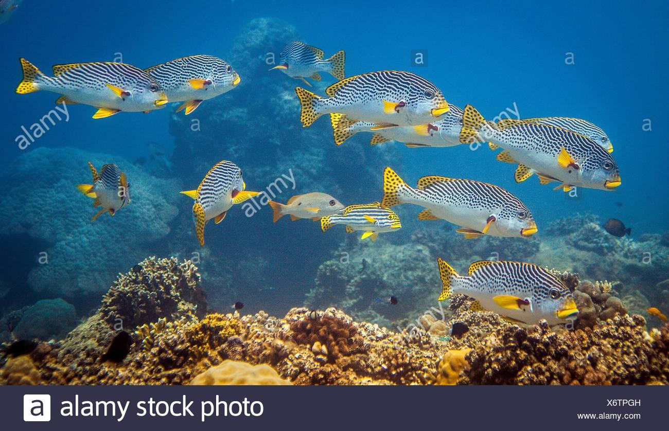 Secca di Sweetlips orientali (Plectorhinchus vittatus) al di sopra di una barriera corallina, Lombok, Indonesia Immagini Stock