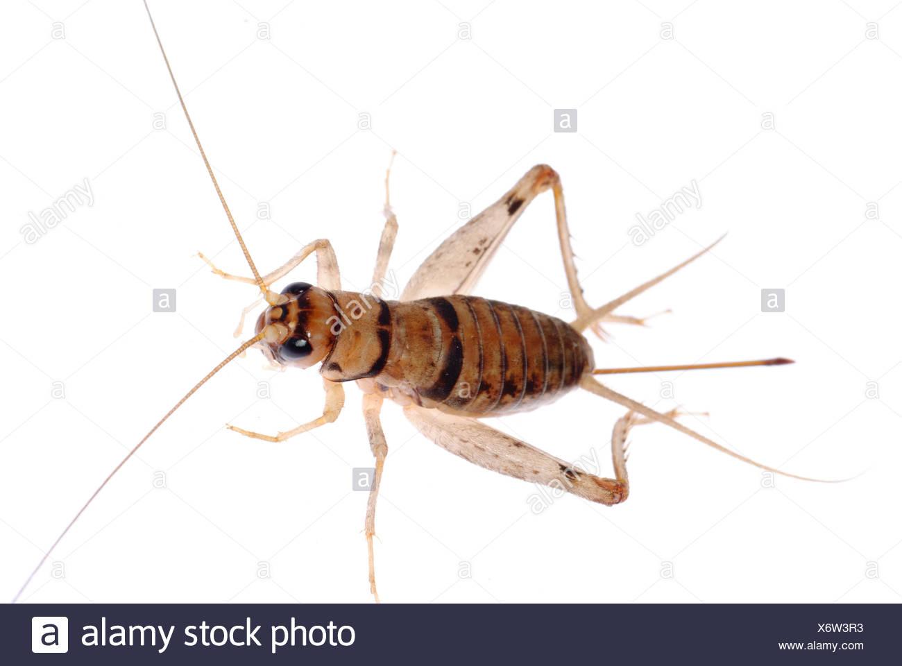 grillo insetto Immagini Stock
