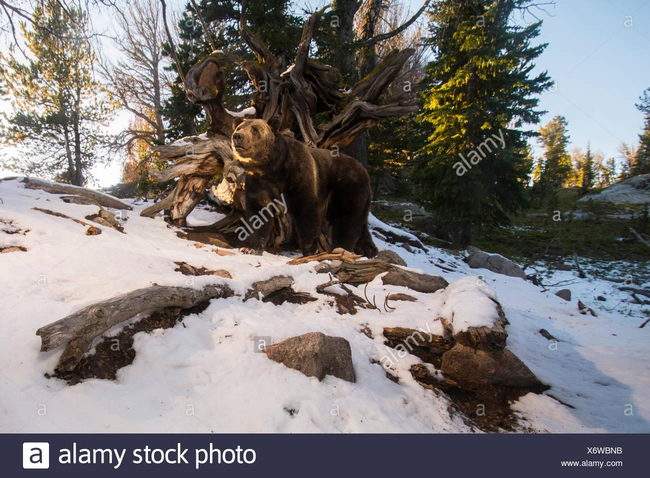 Una telecamera remota consente di catturare un orso grizzly rovistando per whitebark pigne nelle quali nel Wyoming è maggiore ecosistema di Yellowstone. Immagini Stock