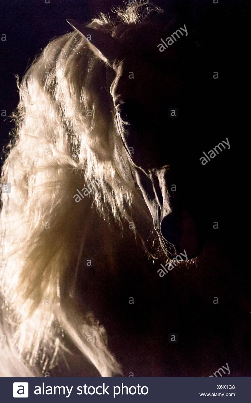 Puro Cavallo Spagnolo andaluso. Ritratto di stallone in controluce, visto contro uno sfondo nero. Germania Immagini Stock