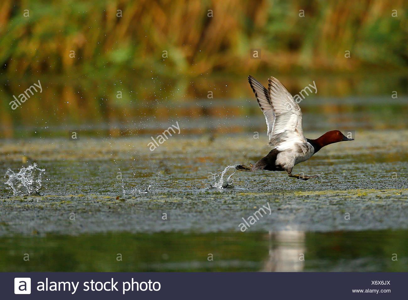 Tafelente, Tafel-Ente (Aythya ferina, Anas ferina), vom Wasser startendes Maennchen, Seitenansicht, Rumaenien, Donaudelta   comm Immagini Stock