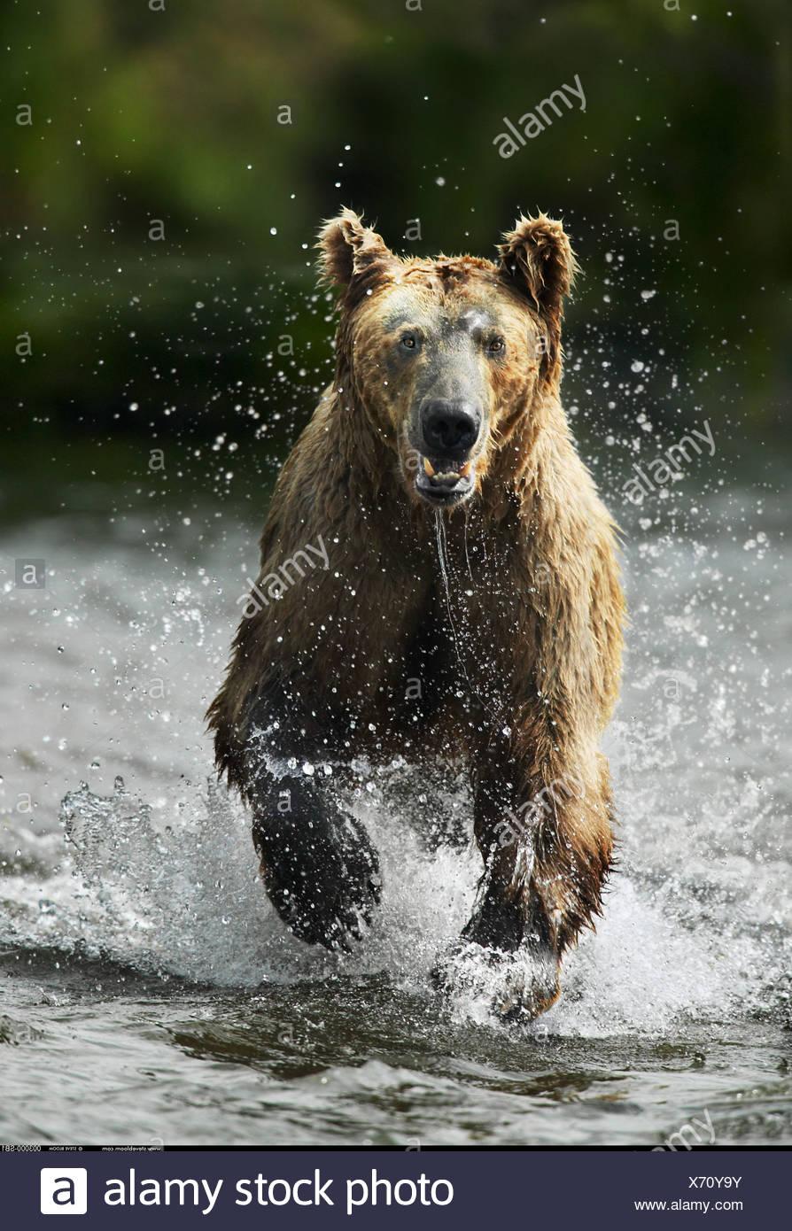 Orso bruno in esecuzione attraverso acqua Katmai National Park in Alaska Immagini Stock