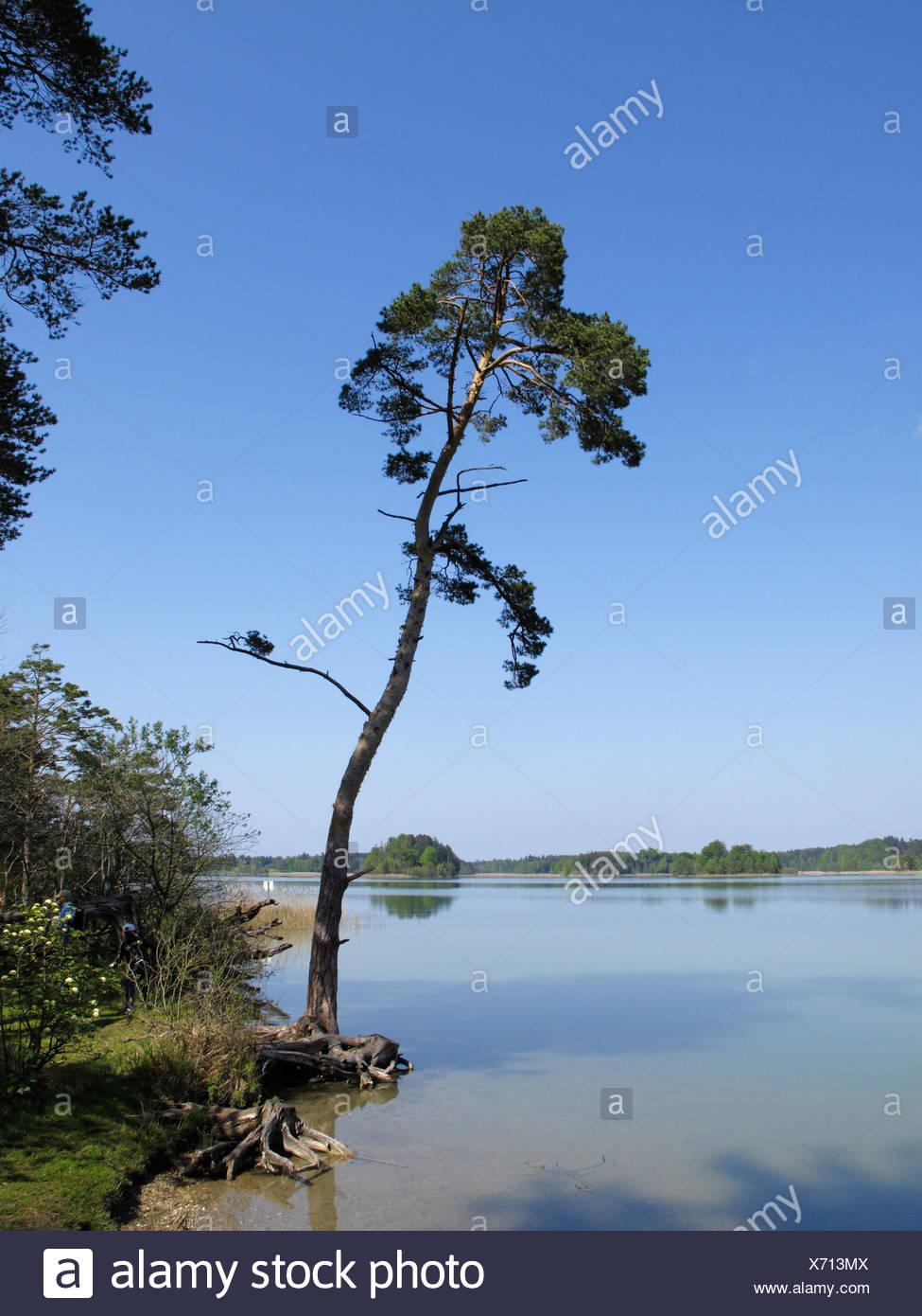 Pino silvestre sul lungolago, Grosser Ostersee lago, Osterseen laghi, Iffeldorf, Alta Baviera, Baviera, Germania, Europa Immagini Stock