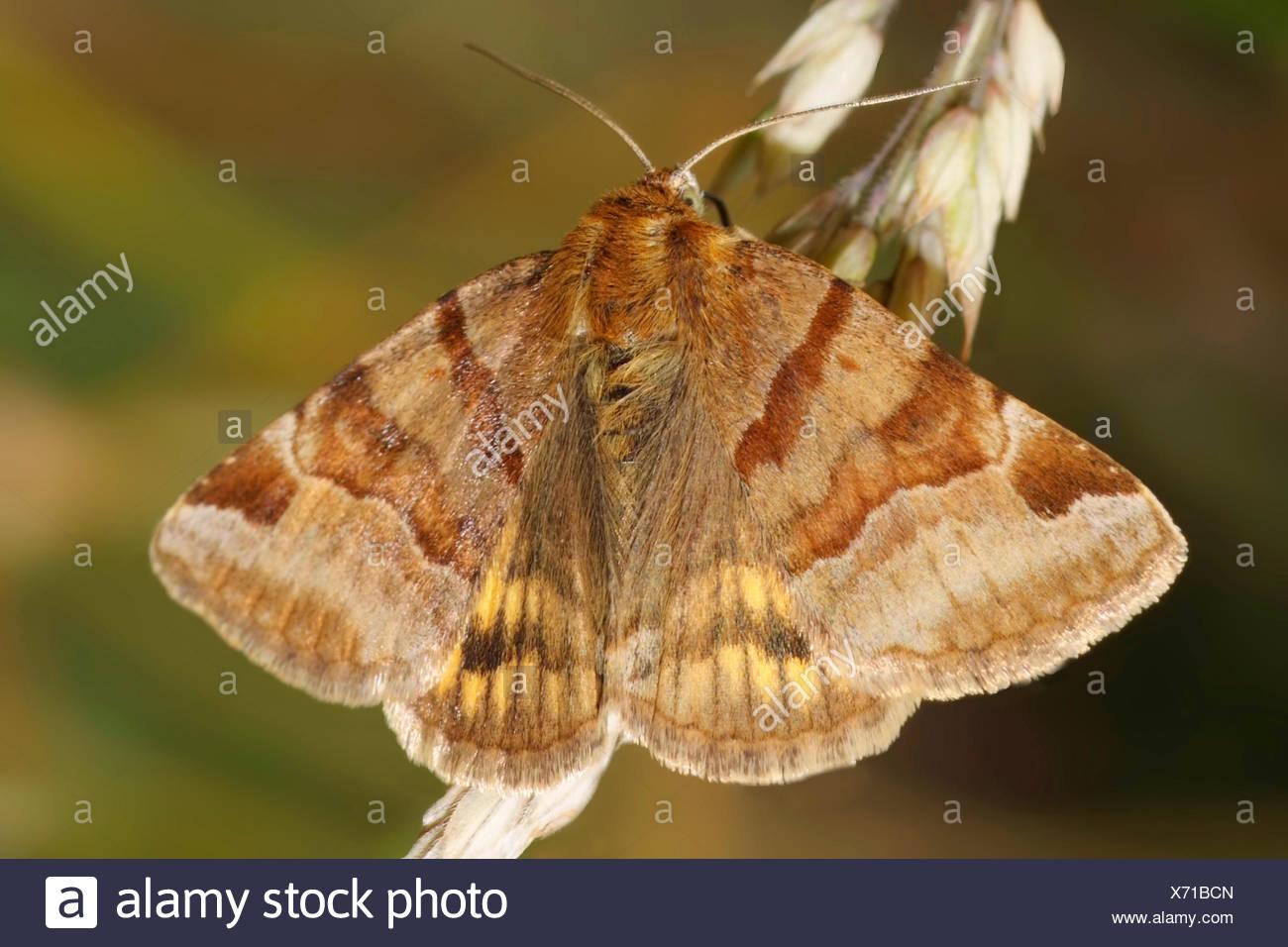 Burnett Companion (Ectypa glyphica, Euclidia glyphica), su un germogliamento infiorescenza, Germania Immagini Stock