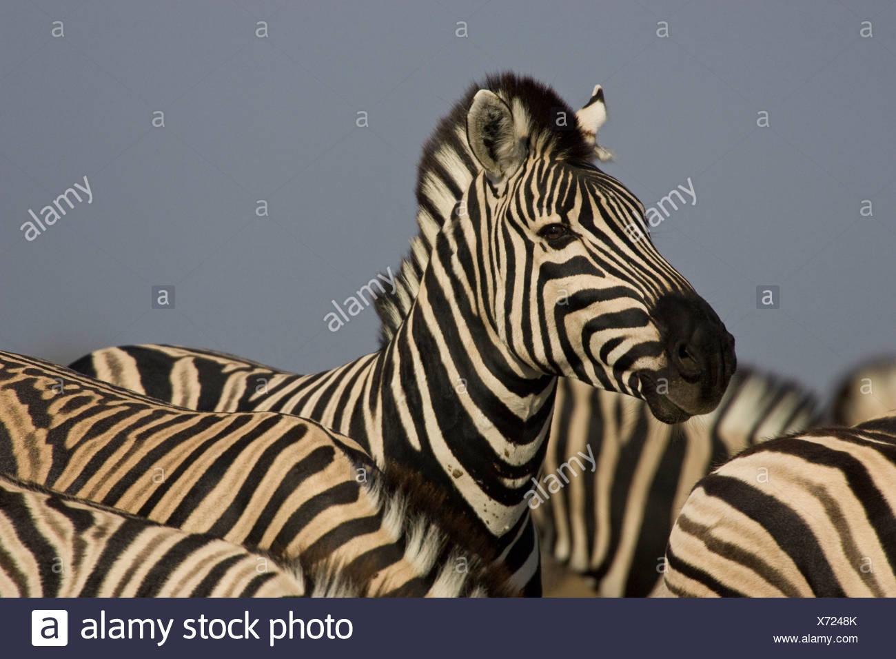 Ritratto di zebra, il Parco Nazionale di Etosha, Namibia. Immagini Stock