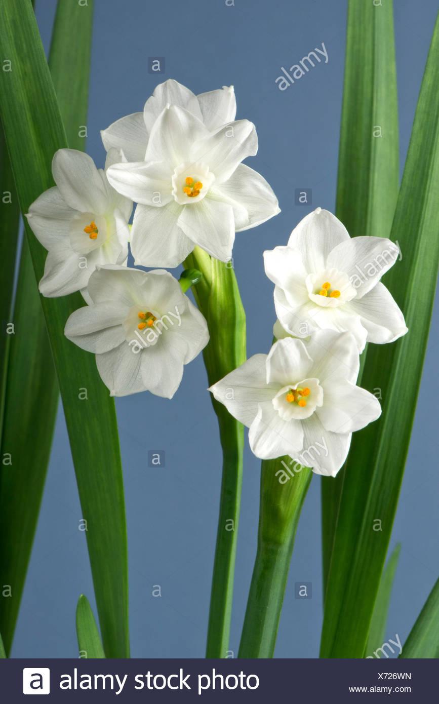 Fiori bianchi su una fragrante daffodil, narcisi 'Paperwhite' cresciuto come una pianta di casa in inverno per il suo odore Immagini Stock