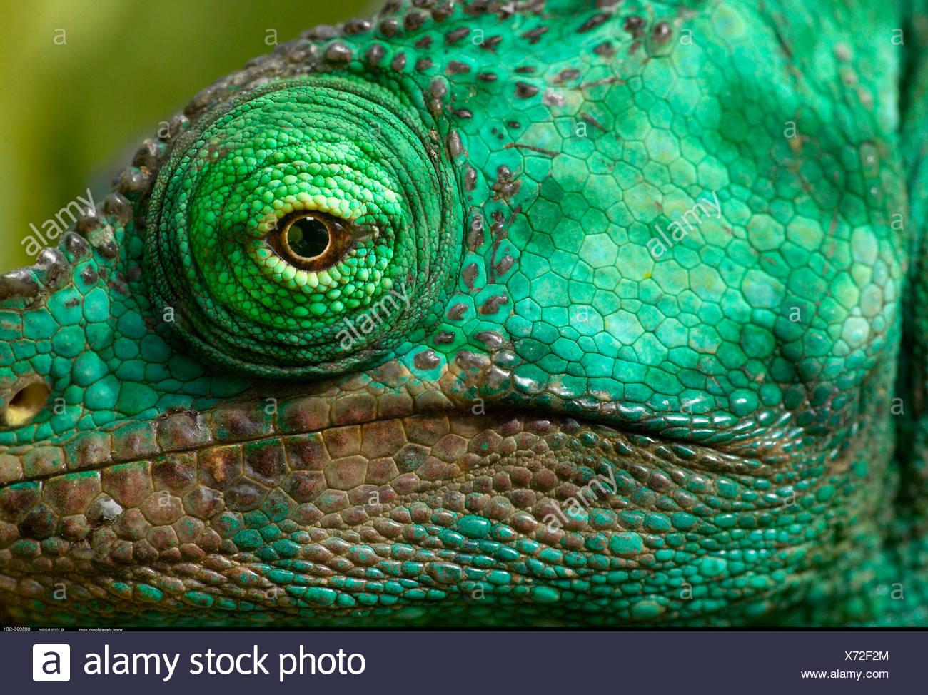 Testa di Parson s chameleon Perinet Madagascar Immagini Stock