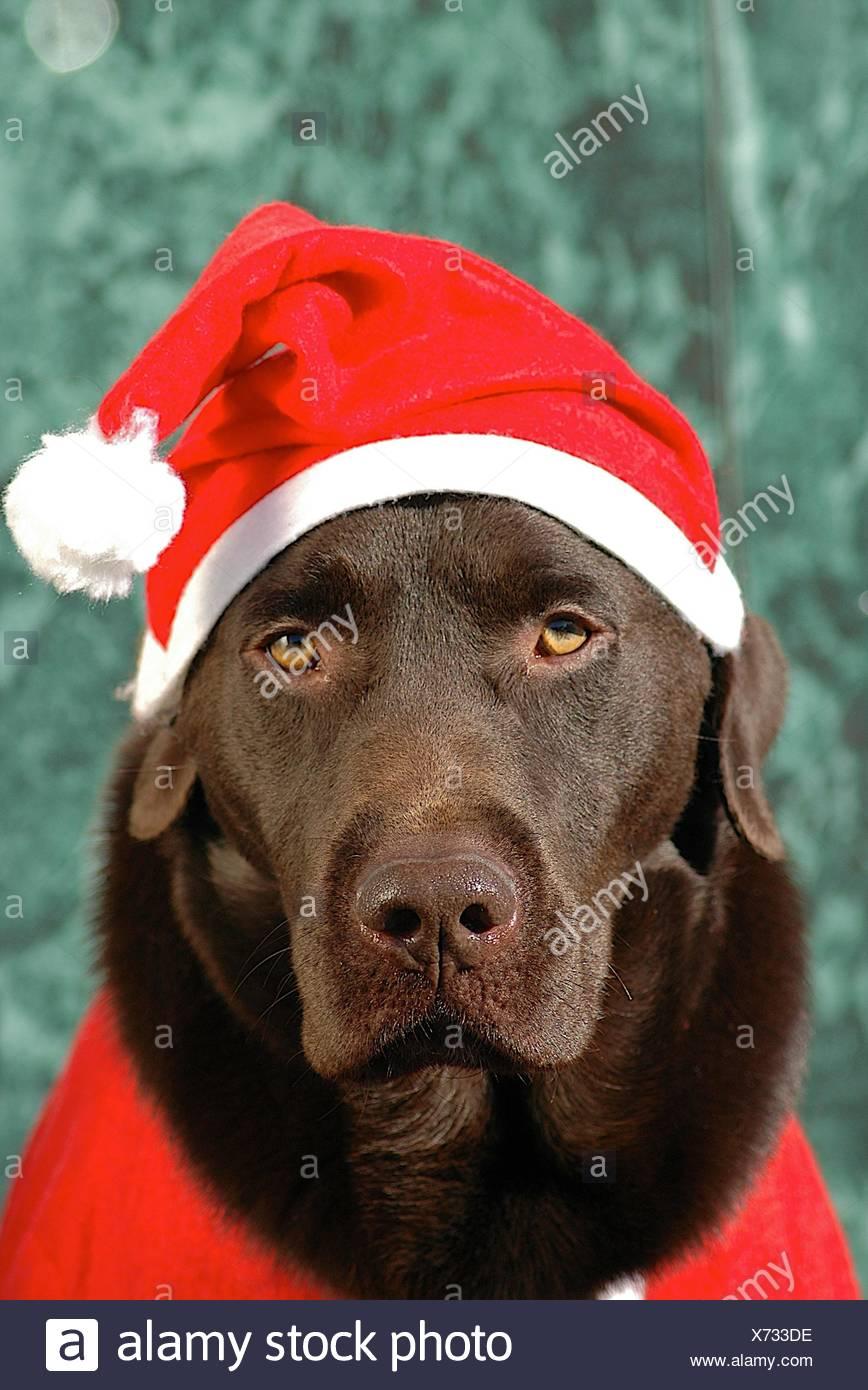 Foto Di Cani Vestiti Da Babbo Natale.Un Cioccolato Labrador Retriever Cane Vestiti Da Babbo