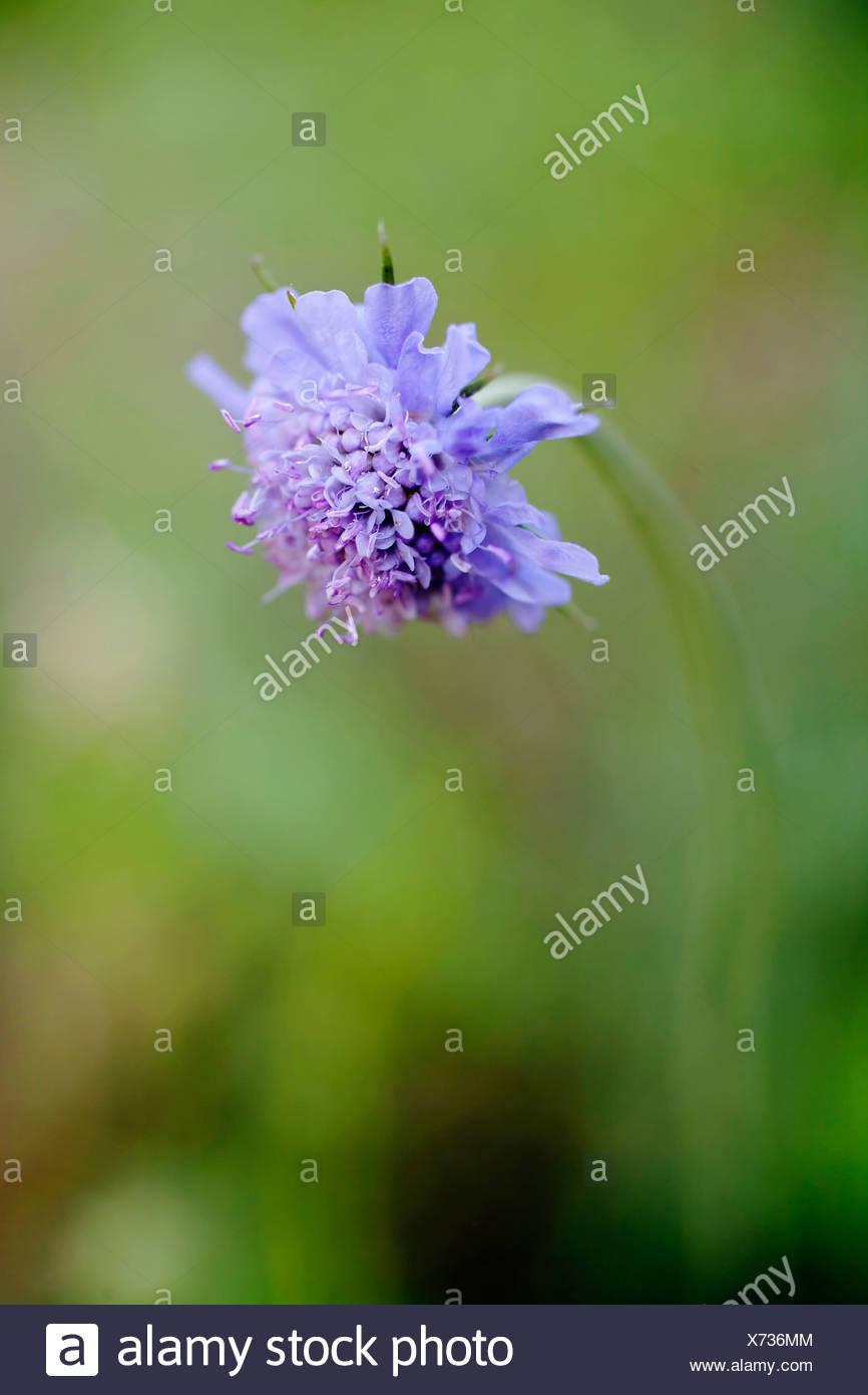 Knautia arvense singolo campo blu fiore scabious Immagini Stock