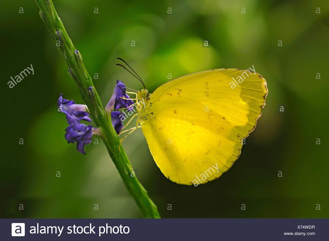 Emigrante comune o di limone emigrante (Catopsilia pomona), farfalle tropicali (Pieridae) Immagini Stock