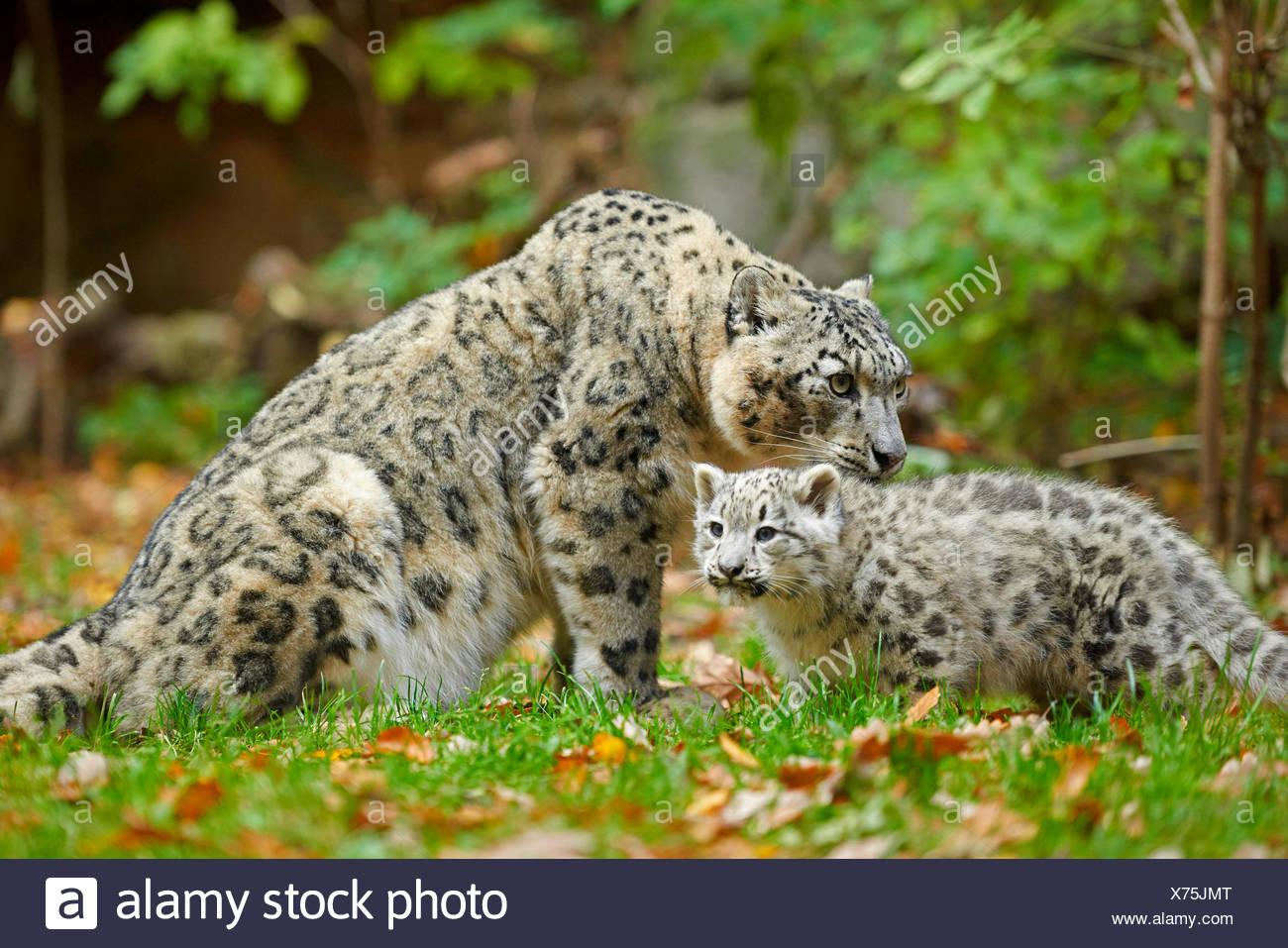 Snow Leopard (Uncia uncia, Panthera uncia), leopardesses con un giovane in un prato Immagini Stock