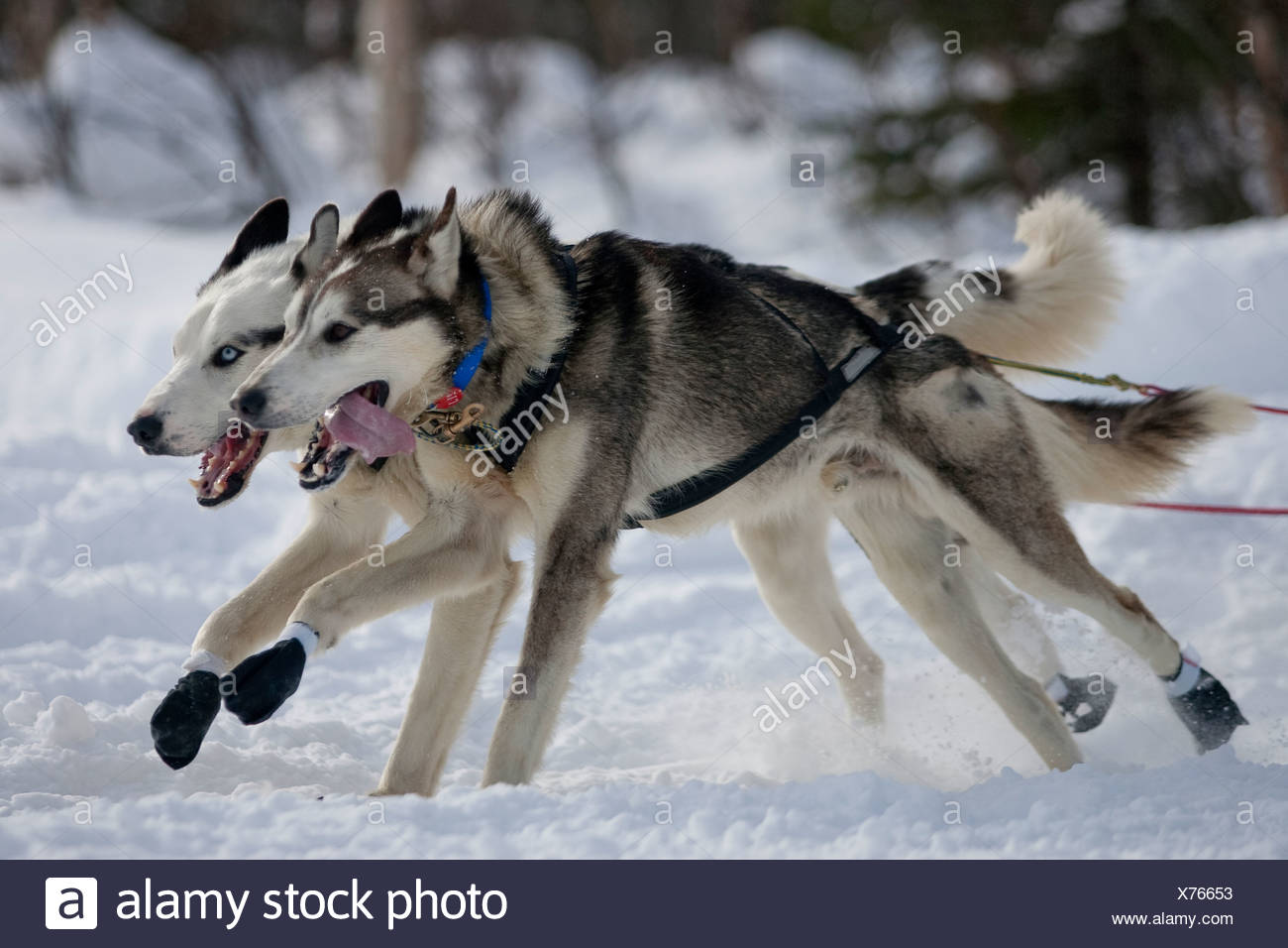 Alaska, Willow. Sentiero Iditarod Sled Dog Race 2009 Gazzetta re-start. Mushers sul lungo lago. Immagini Stock