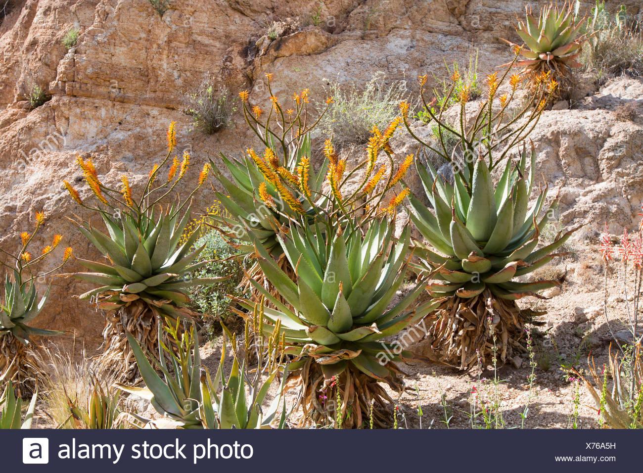 Mountain Aloe, piatto flowerd Aloe, grande spinosa aloe (Aloe marlothii), fioritura gruppo in corrispondenza di una parete di roccia, STATI UNITI D'AMERICA, Arizona, Boyce Thompson Arboretum Immagini Stock