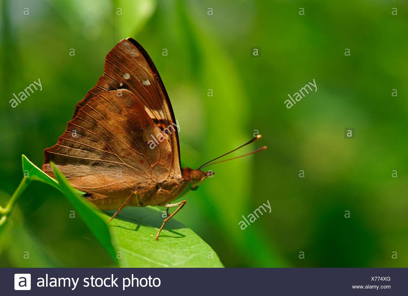 Nymphalidae (Nymphidae) farfalle tropicali, (Doxocopa linda), Iguazú National Park, Paraná, Brasile Immagini Stock