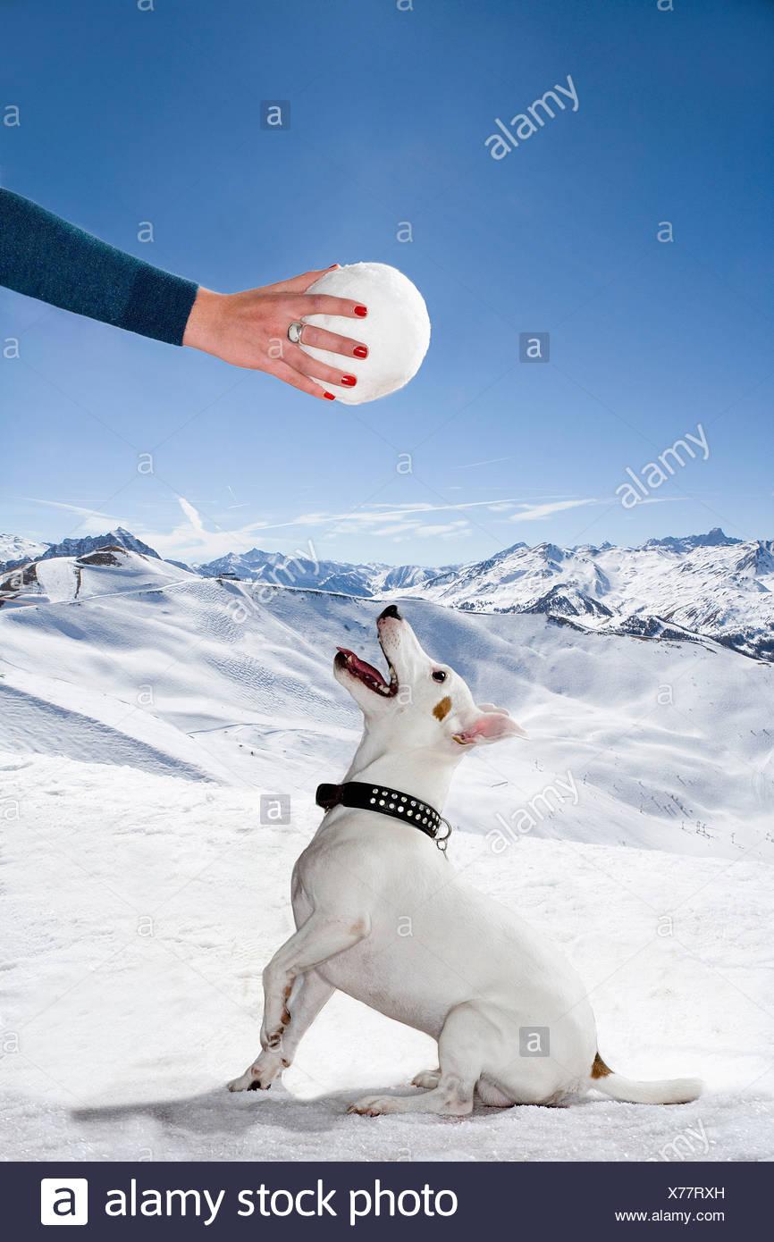 Un cane in cerca di neve fino a palla di neve Immagini Stock