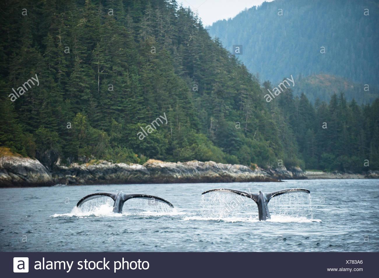 Humpback Whale immergersi per alimentare in corrente di forte intensità. Immagini Stock