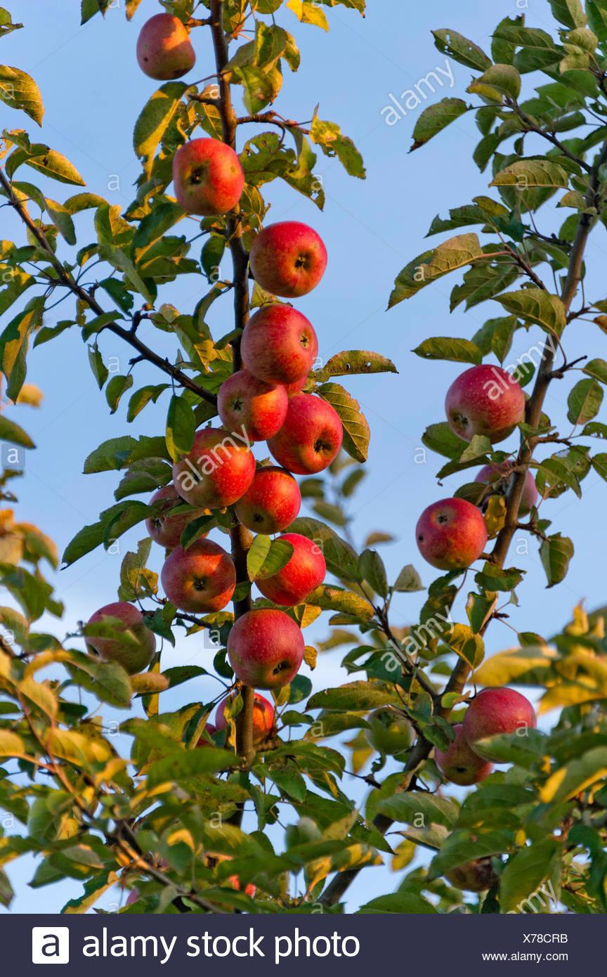 Unsprayed Mele rosse su un albero di mele, Fischerhäuser, Ismaning, Alta Baviera, Baviera, Germania Immagini Stock