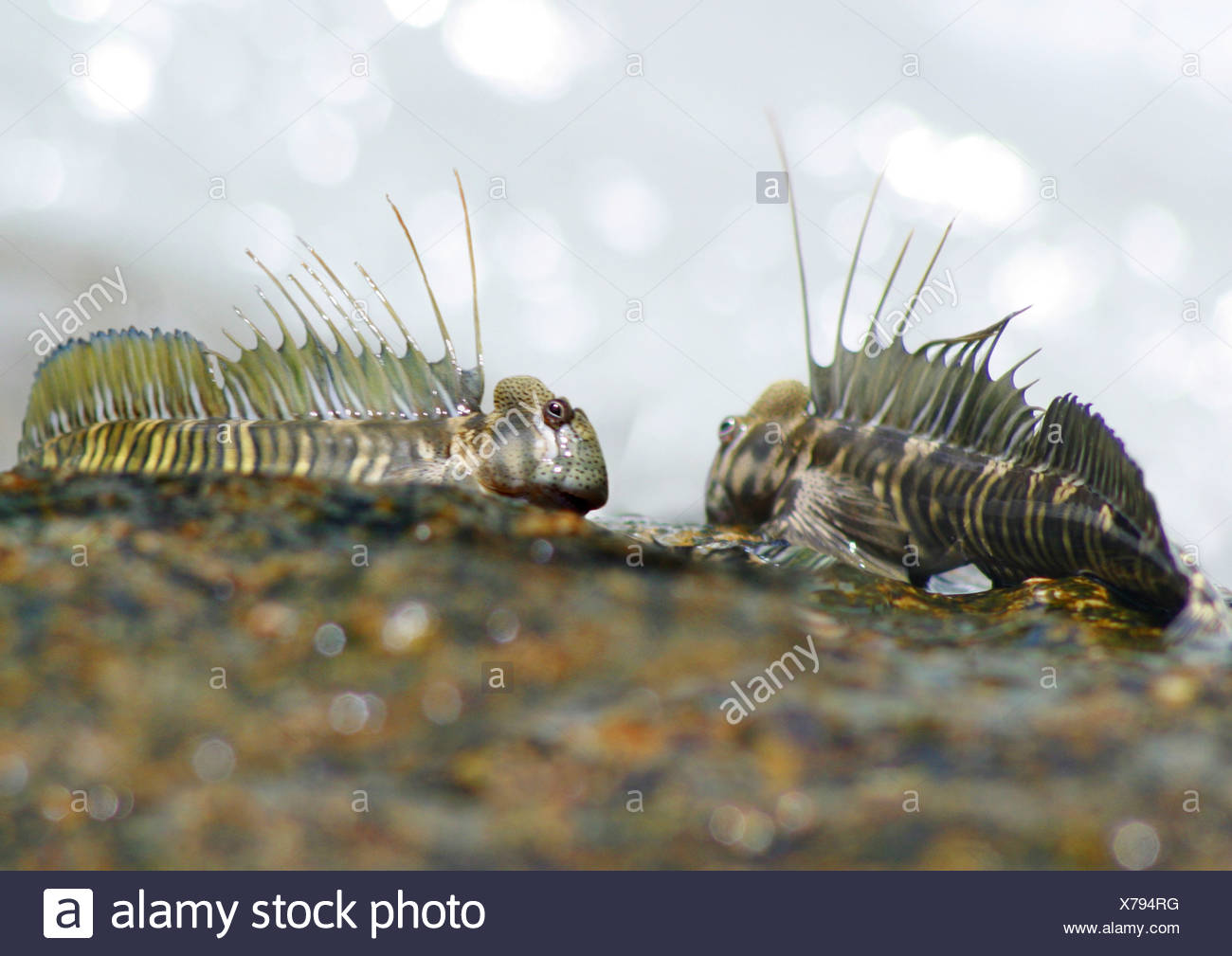 Mudskippers, mudhoppers, arrampicata-pesci (Periophthalmus spec.), habitant di acqua salmastra, distribuzione: costa dell Africa, Austr Foto Stock