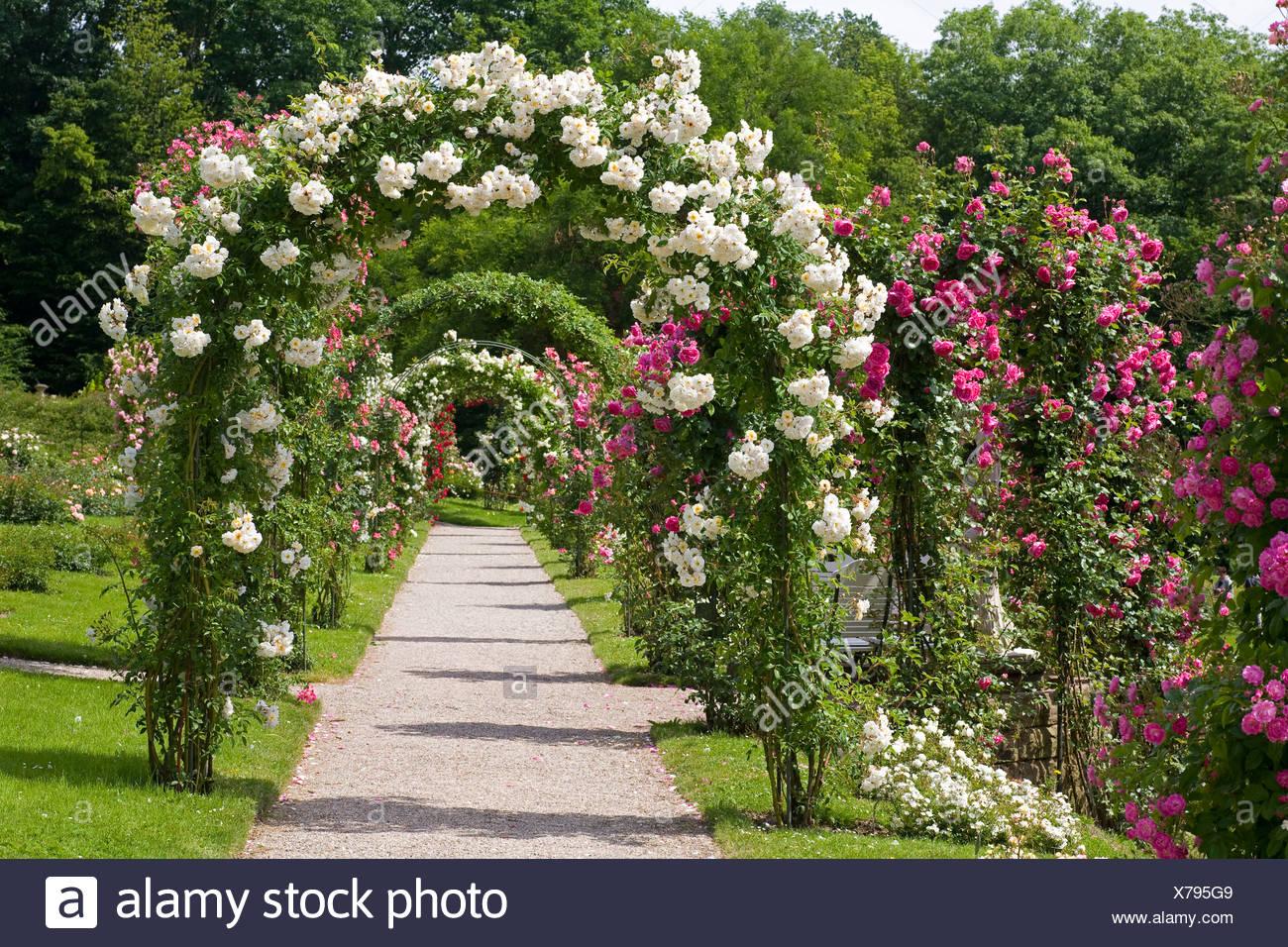 Rose ornamentali rosa spec il percorso attraverso gli archi di