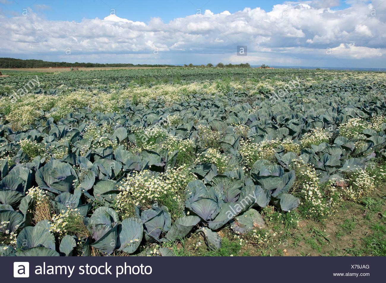 Campo di cavolo rosso o blu Kraut (Brassica oleracea var. rubra) e profumati (Mayweed Matricaria chamomilla, Matricaria recuti Immagini Stock