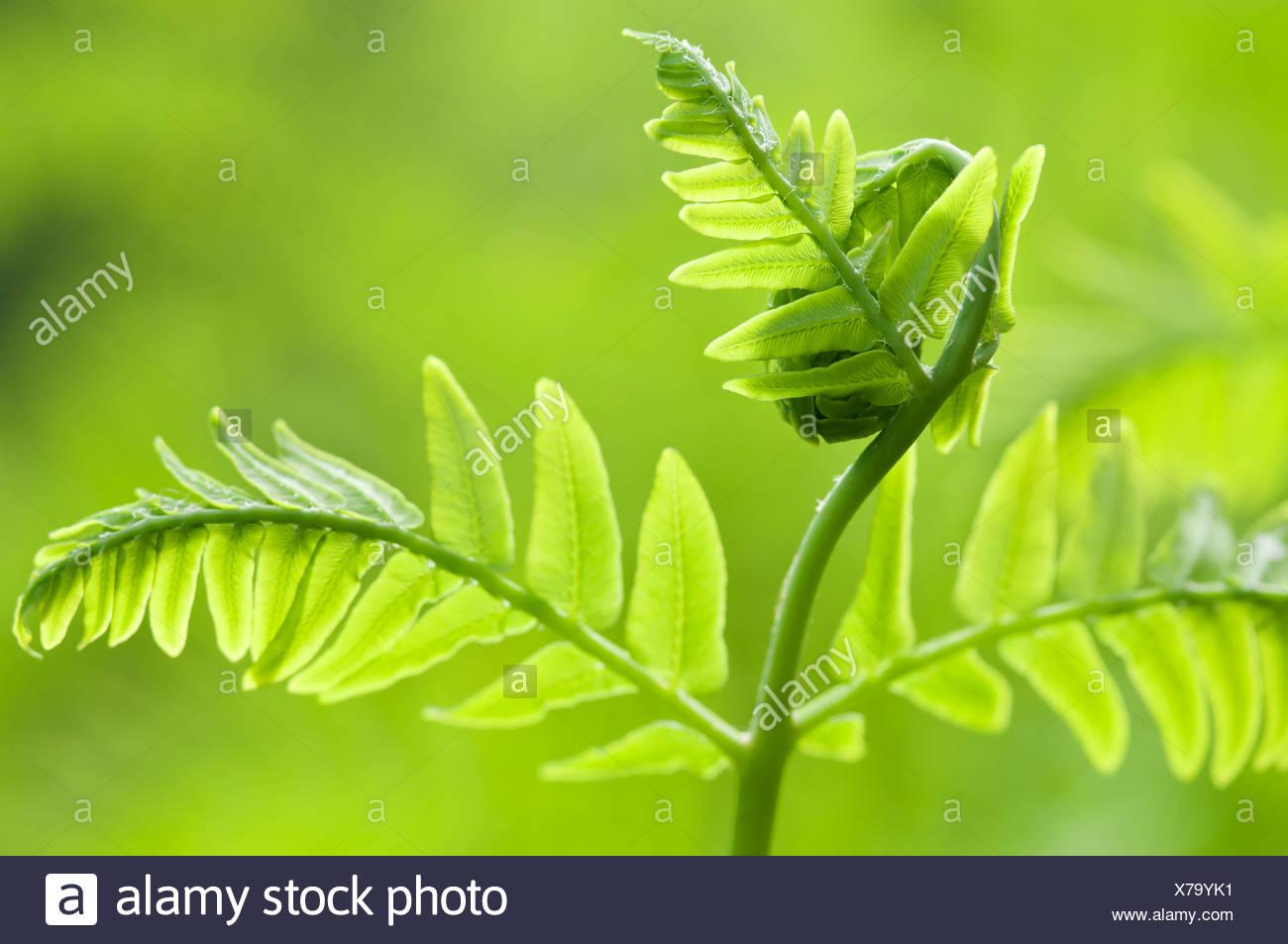 Osmunda regalis, foglia di felce dispiegarsi, oggetto verde, sfondo verde. Immagini Stock