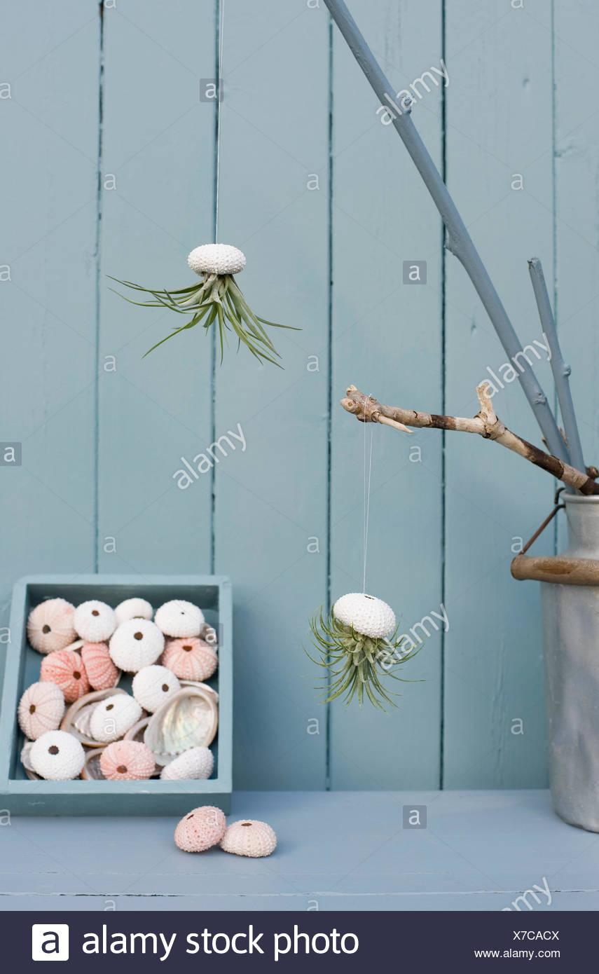 https://c8.alamy.com/compit/x7cacx/tillandsias-aria-impianti-in-ricci-di-mare-conchiglie-come-bagno-decorazione-x7cacx.jpg