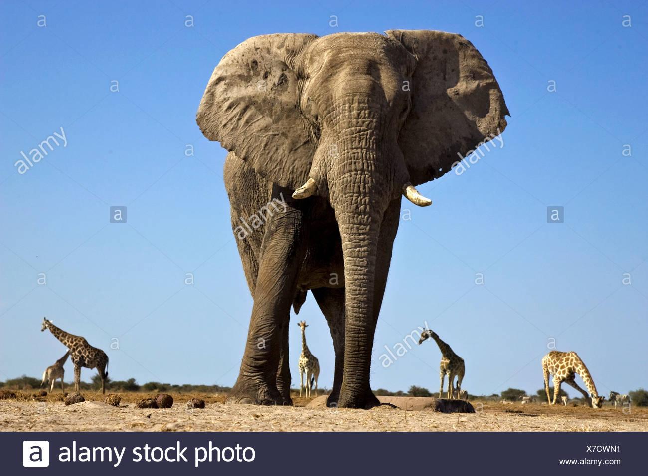 Elefanti e giraffe, il Parco Nazionale di Etosha, Namibia Immagini Stock