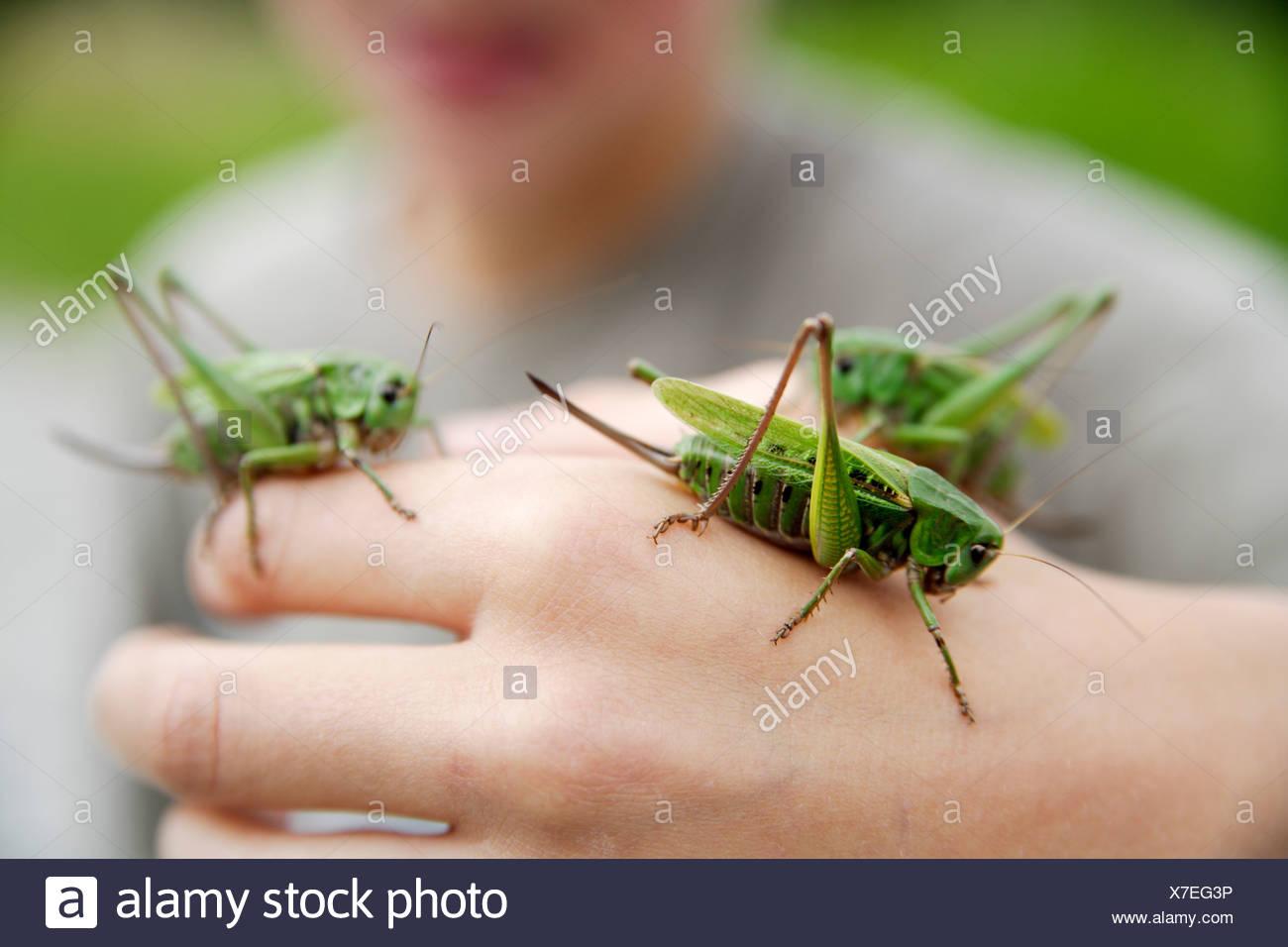 Ragazzo tenendo premuto a lungo cornuto grasshopper, close-up di mano Immagini Stock