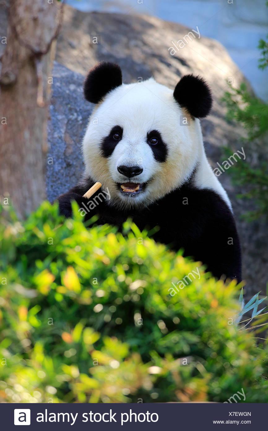 Panda gigante, Asia / (Ailuropoda melanoleuca) Immagini Stock