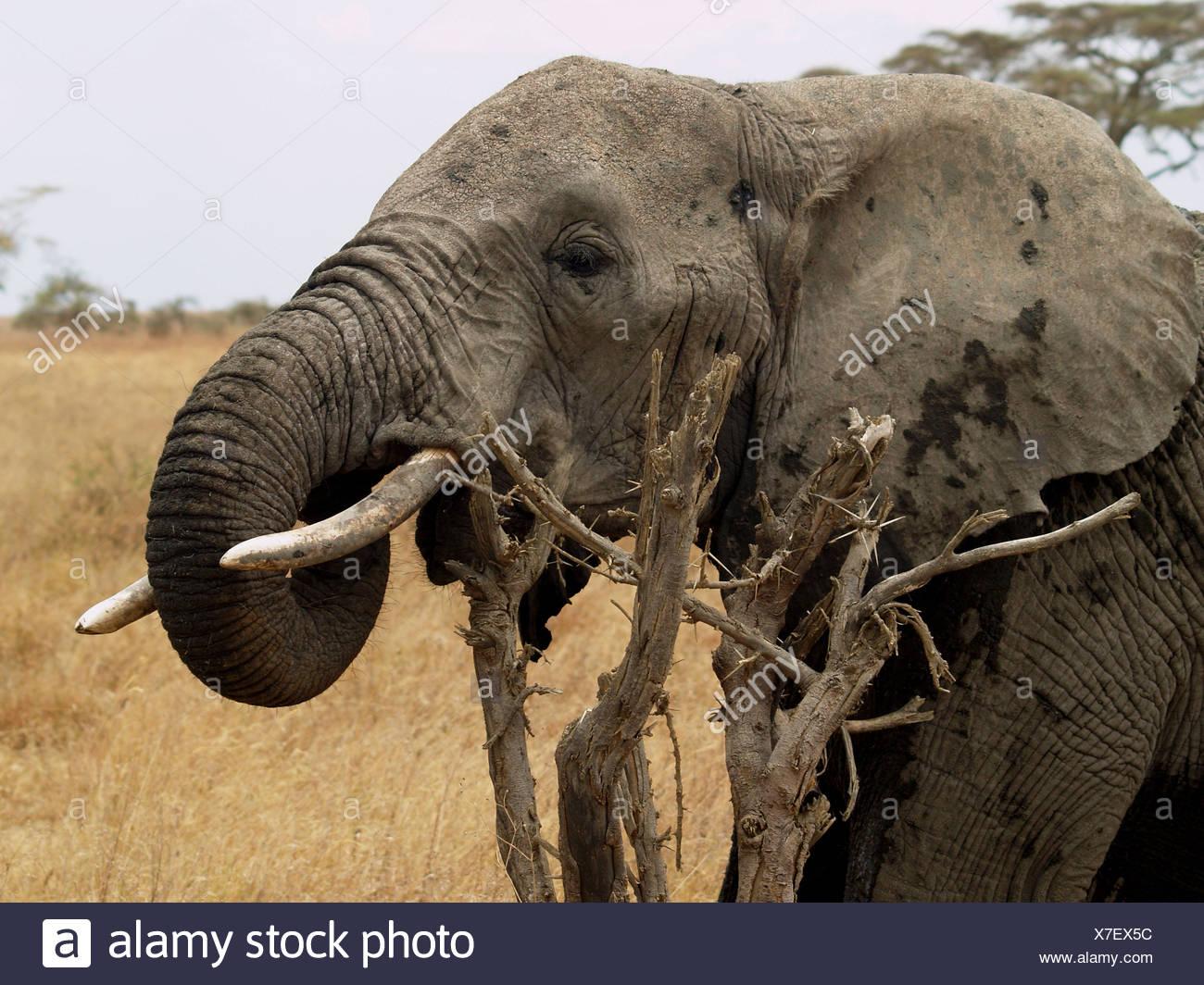 Portret di Elephant nel selvaggio Immagini Stock