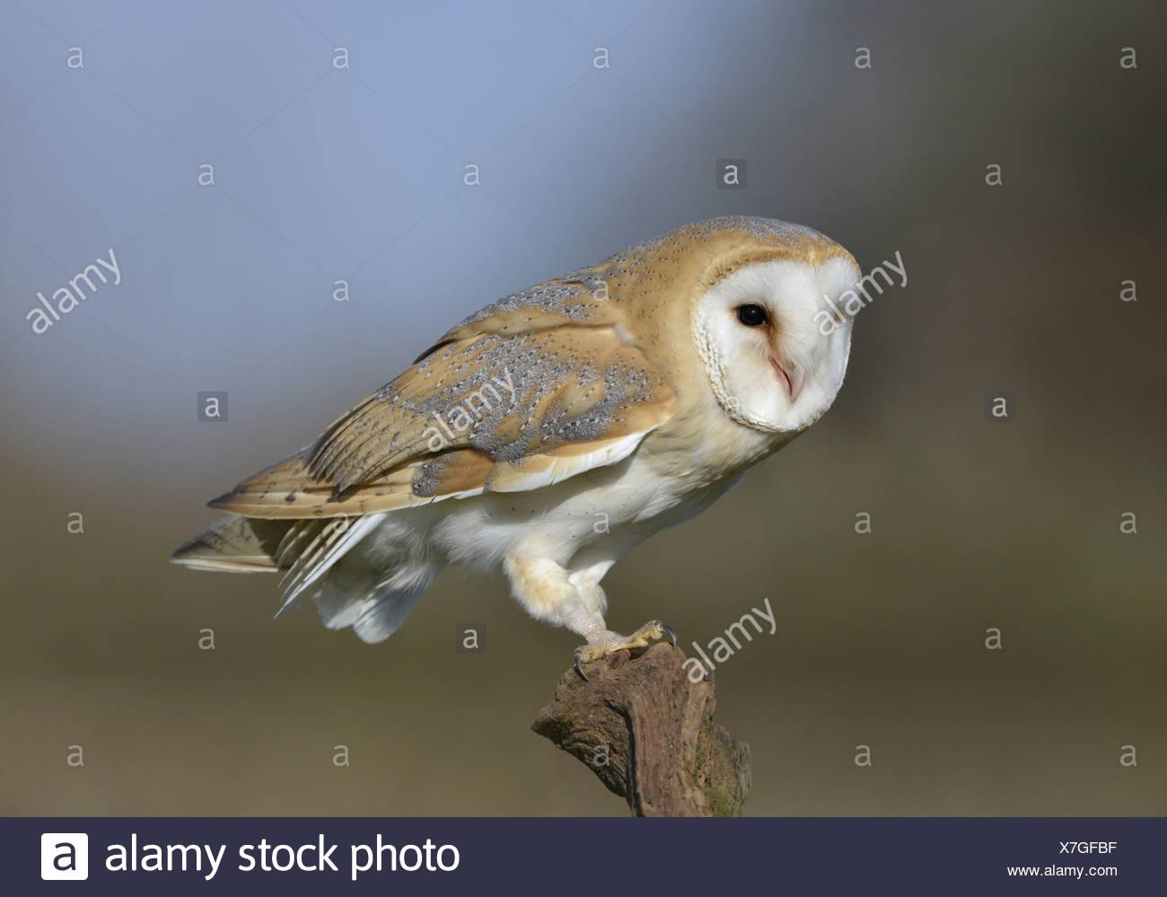 Barbagianni Tyto alba Immagini Stock
