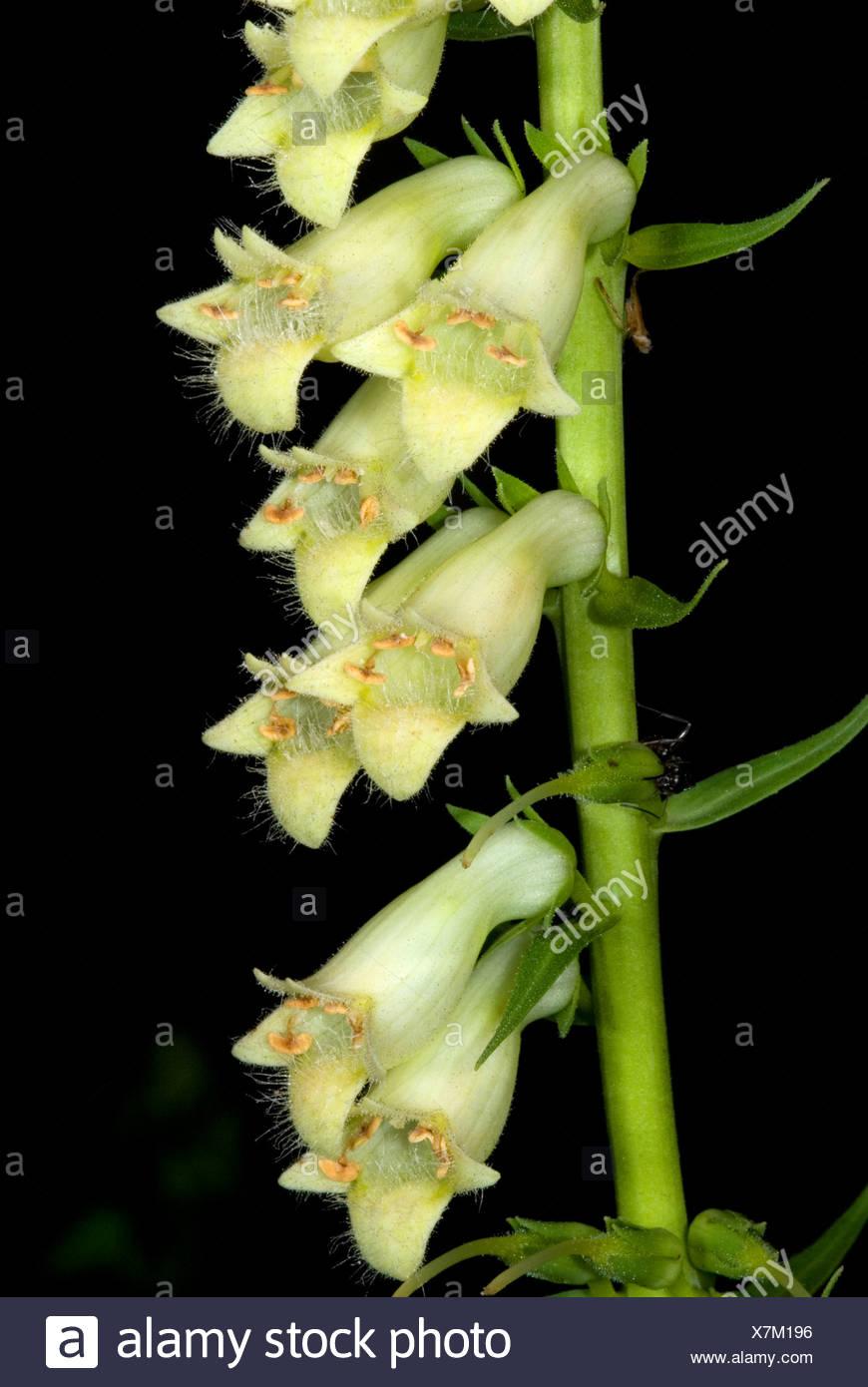 Fiori di Digitalis lutea, la digitale jaune, piccolo giallo foxglove. Immagini Stock
