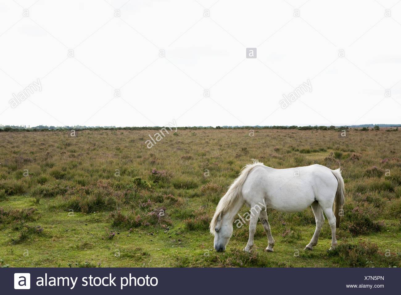 Wild Horse pascolo Immagini Stock