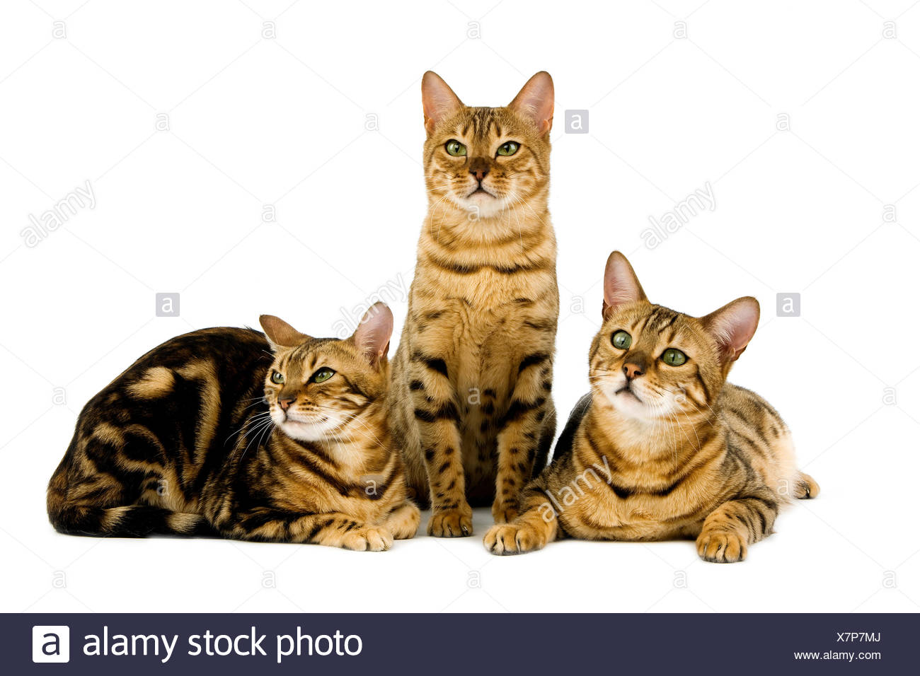 Brown Spotted Tabby E Brown Tabby Marmorizzato Bengala Gatto