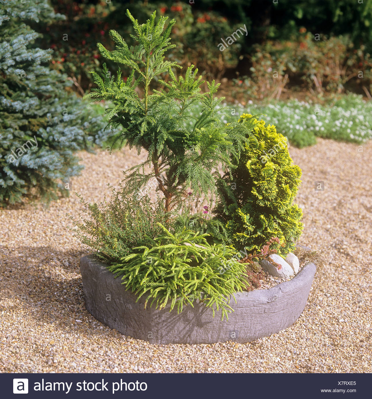 Diverse piccole conifere in vaso Foto & Immagine Stock: 280194157 ...