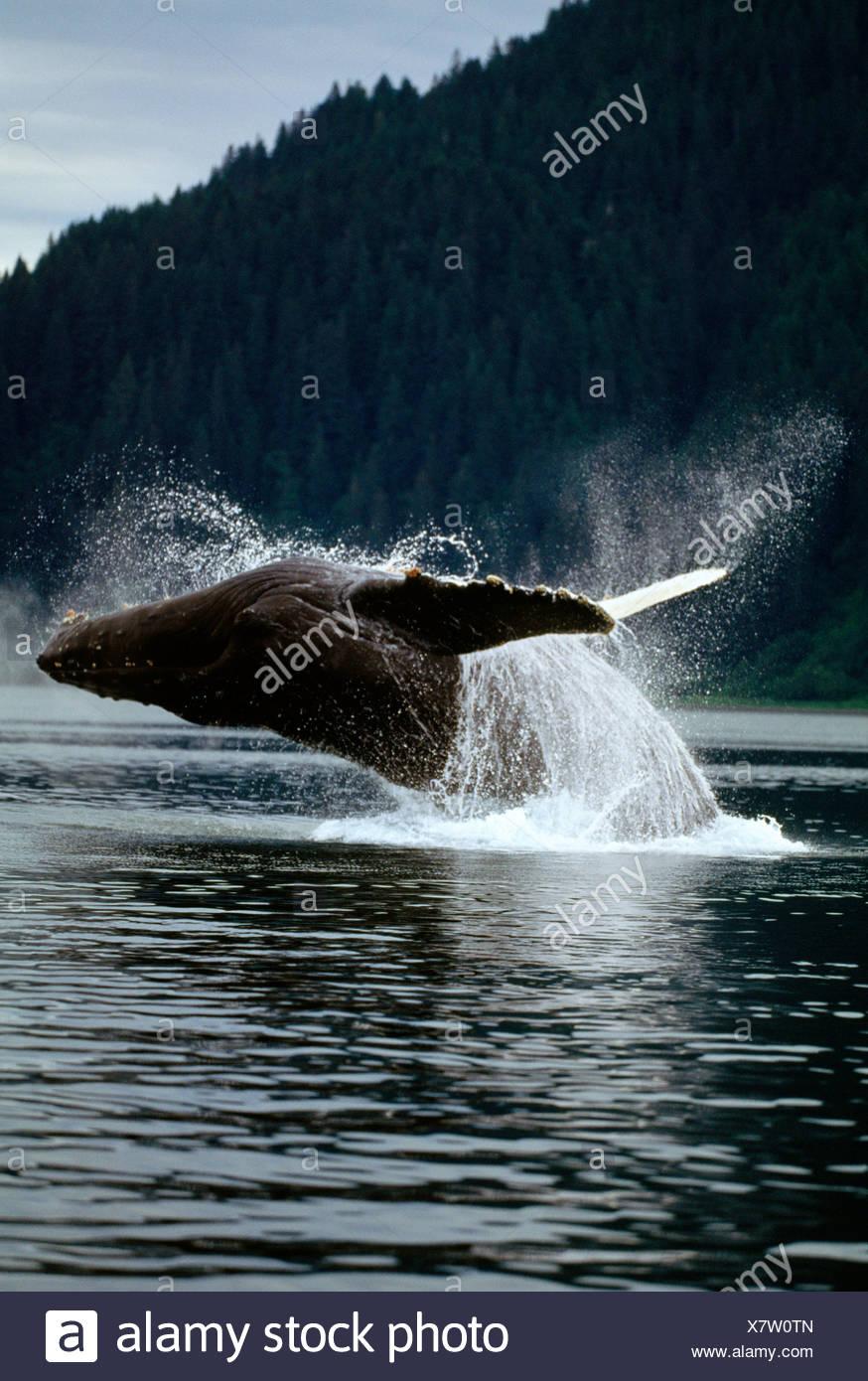 Humpback Whale, Pt. Adolphus, a sud-est di Alaska Immagini Stock