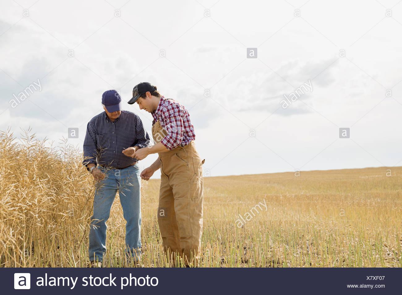 Gli agricoltori esaminando il raccolto di grano Immagini Stock