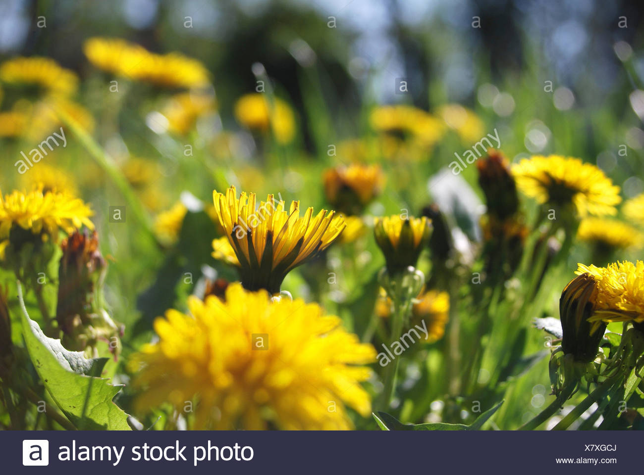 Fiori Gialli Estivi.Flower Meadow Tarassaco Taraxum Officinale Fiorisce Dettaglio
