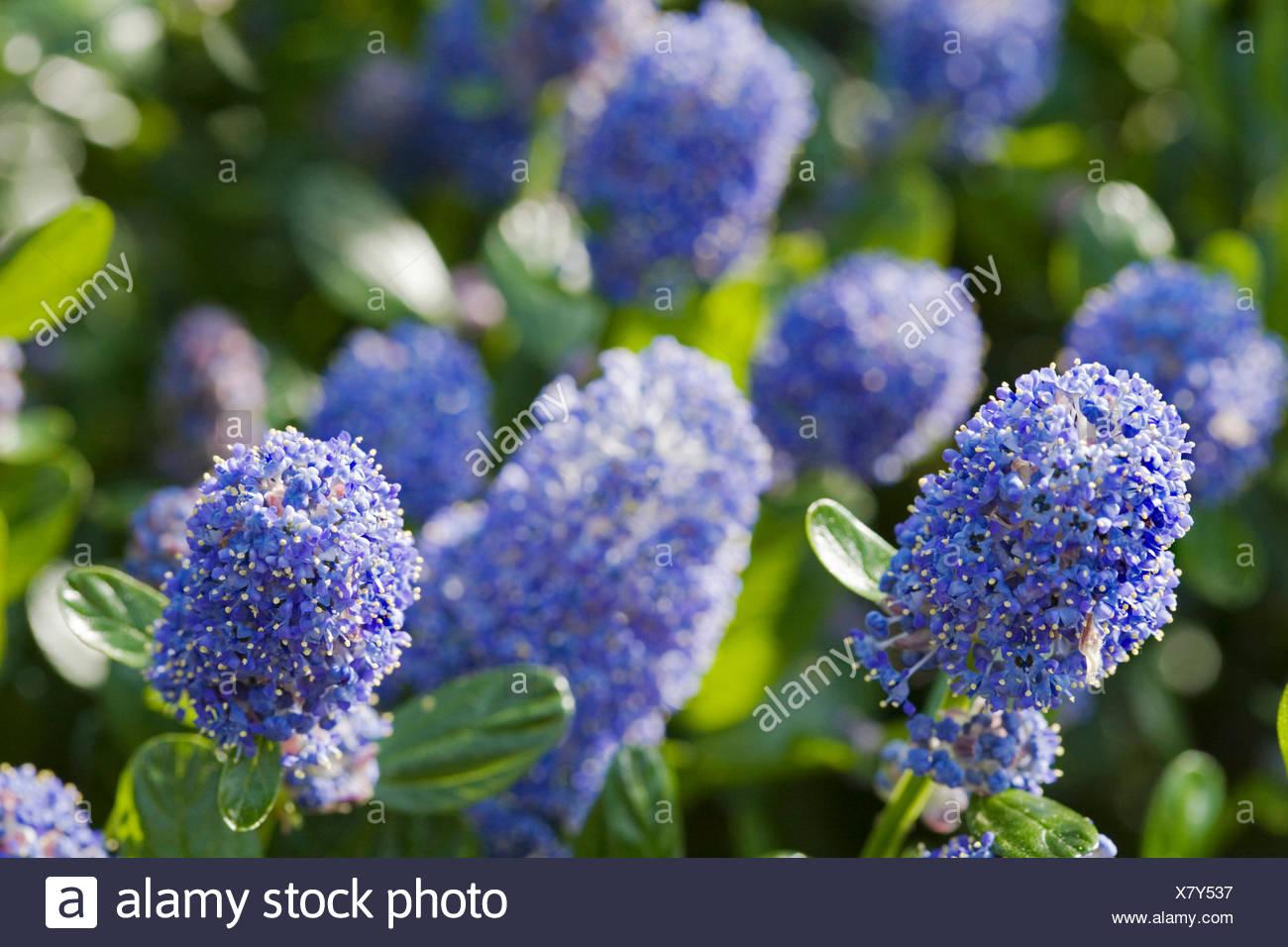 CEANOTHUS THYRSIFLORUS SKYLARK Un Arbusto Sempreverde Con Cluster Di Blu  Scuro Fiori In Primavera Ed Estate