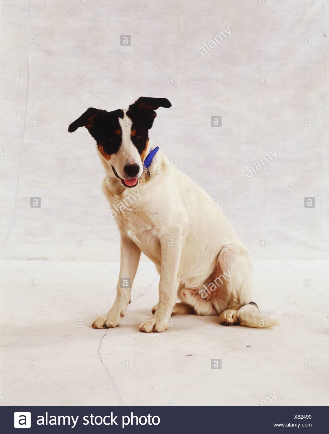 Piccolo Cane bianco nero con le orecchie e gli occhi, seduti, indossando il collare blu, aprire bocca rivelando la linguetta rosa Immagini Stock