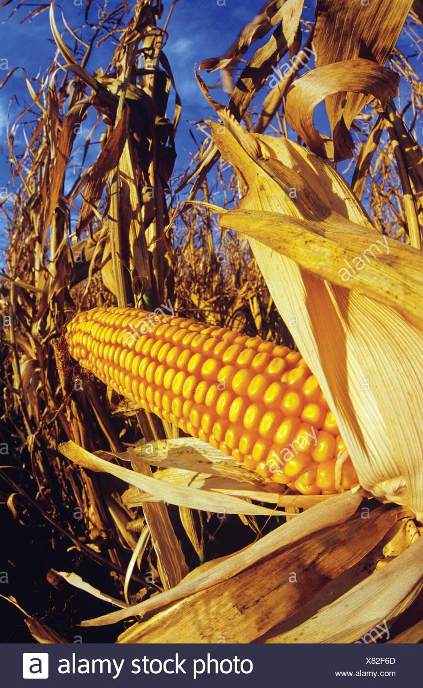 Close-up del raccolto di mangime pronto/mais granella vicino Oakbank, Manitoba, Canada Immagini Stock